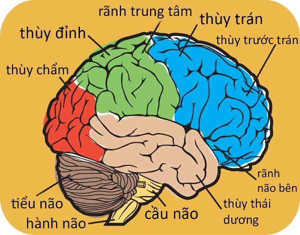 Cấu tạo não bộ: Não to hơn có thông minh hơn