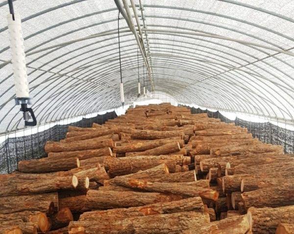 Thân gỗ cây sồi được sử dụng làm nguyên liệu chính cấy nấm bào tử