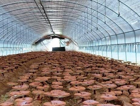Nấm linh chi nguyên tai Imsil Hàn Quốc nhập khẩu chính hãng túi 500gram