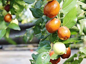 Táo khô được lựa chọn từ 100% quả táo tươi thơm ngon
