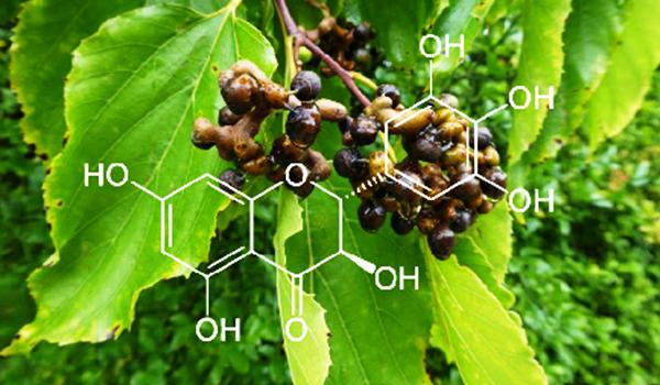 Tìm Hiểu Về Cây Hovenia Dulcis – Dược Liệu Vàng Giải Độc Gan